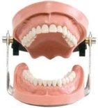 Симулятор пациента / челюсти